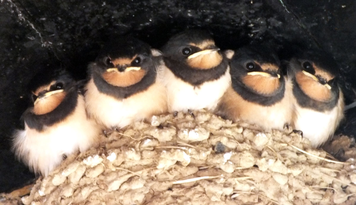 Five fledgling swallows, Cemaes Bay, Anglesey, 2015